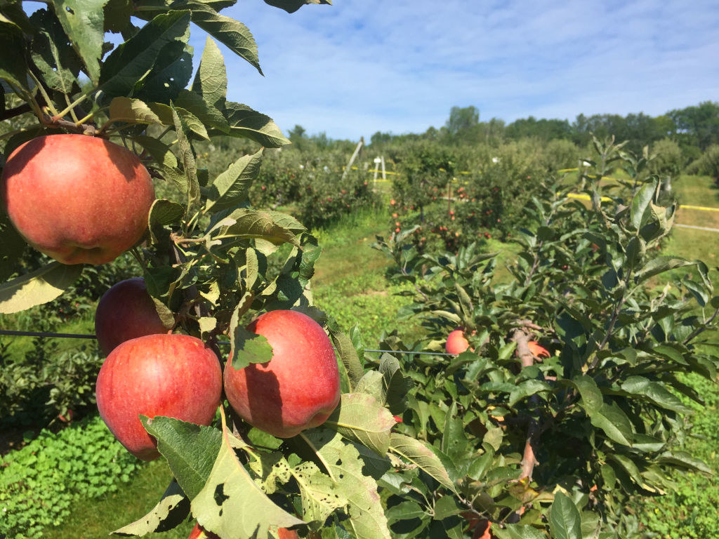 Apples hanging on an apple tree at an orchard.