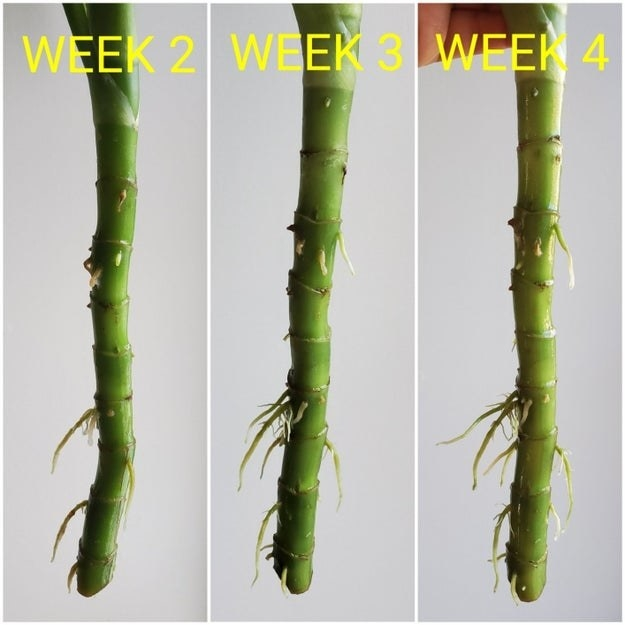 week 2: small roots week 3: slightly longer roots week 4: even longer roots