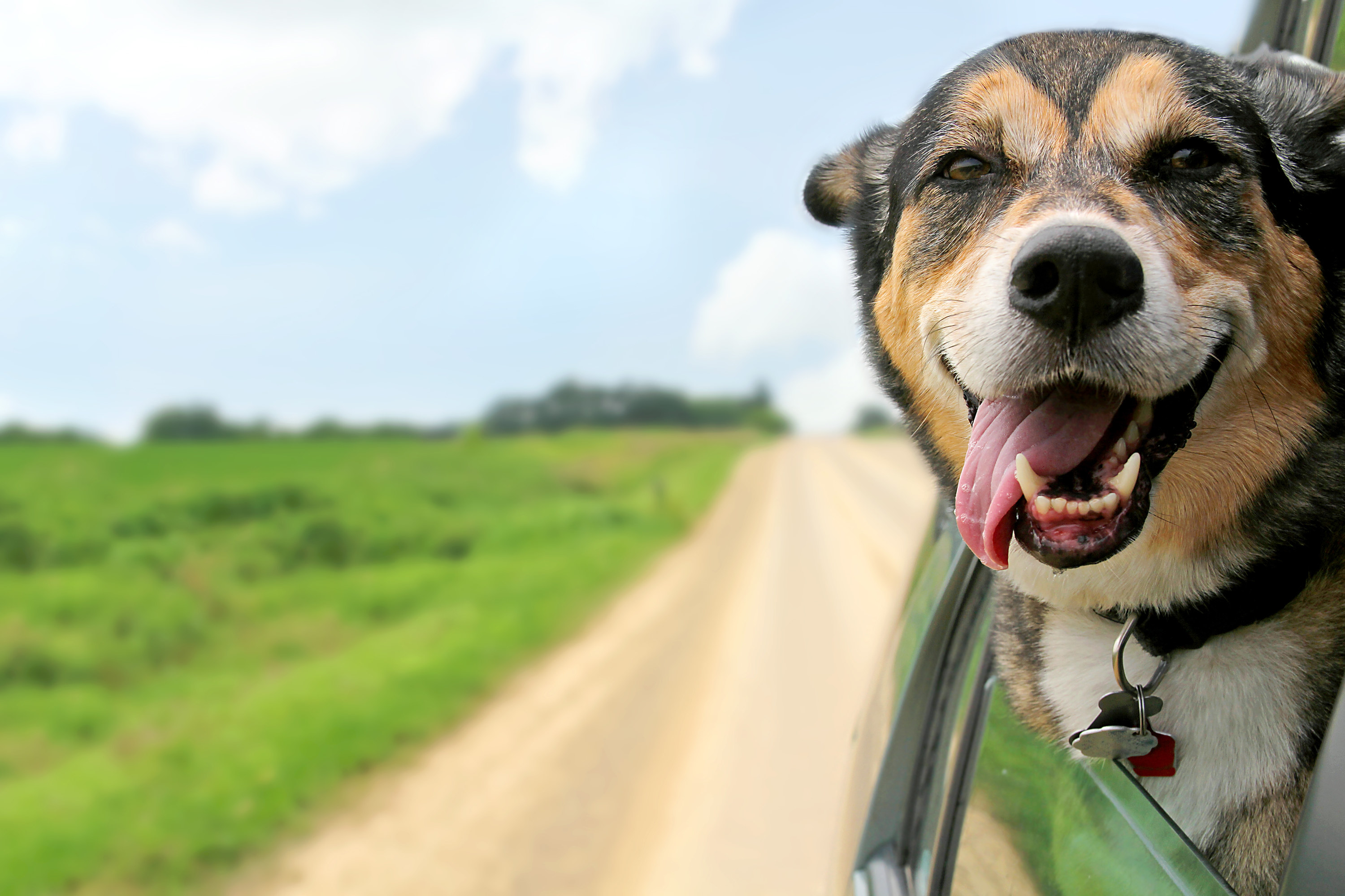 A happy German Shepherd Mix breed dog is hanging is tongue out of his mouth with his ears blowing in the wind as he sticks his head out a moving and driving car window
