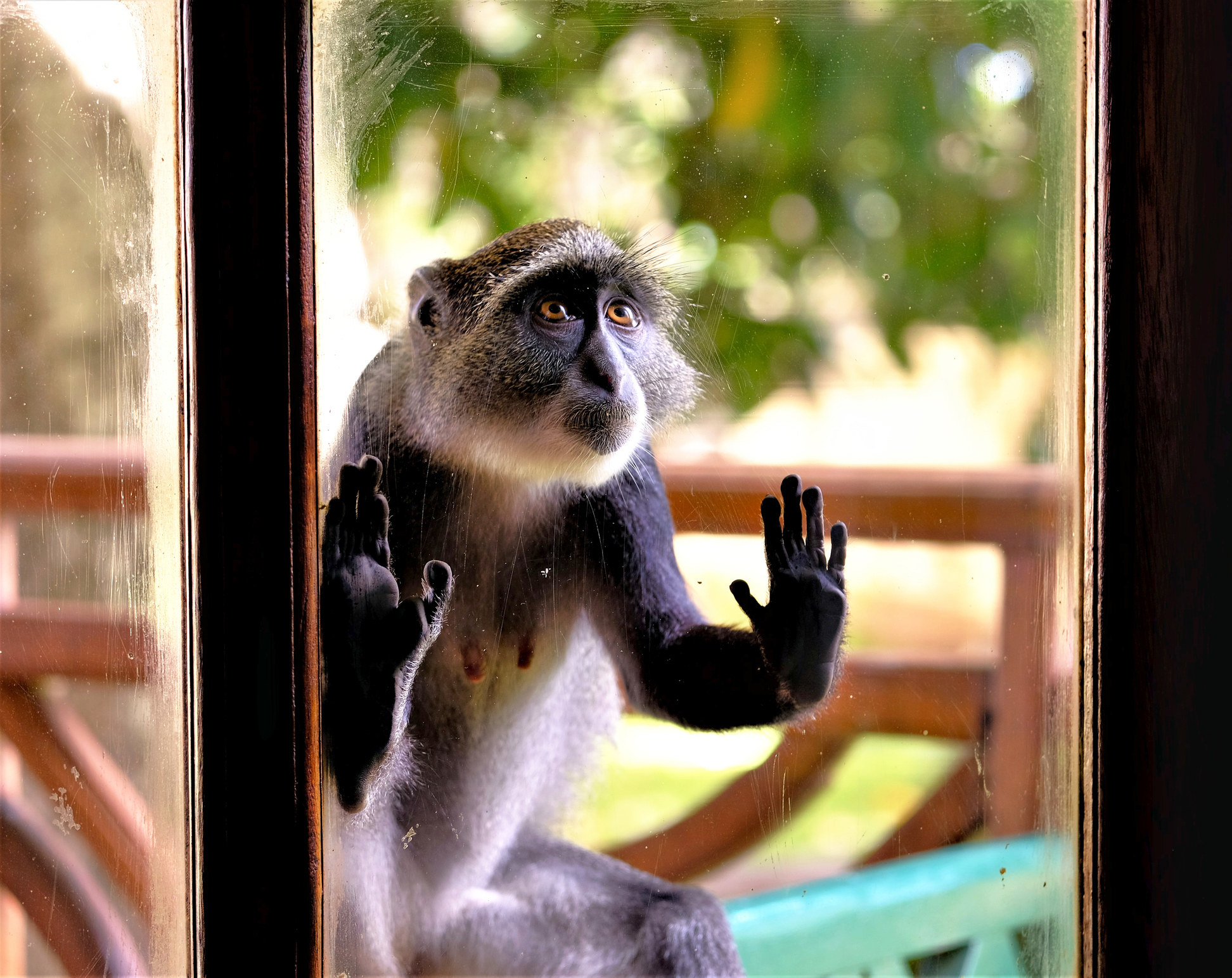 Curious monkey looking in a window