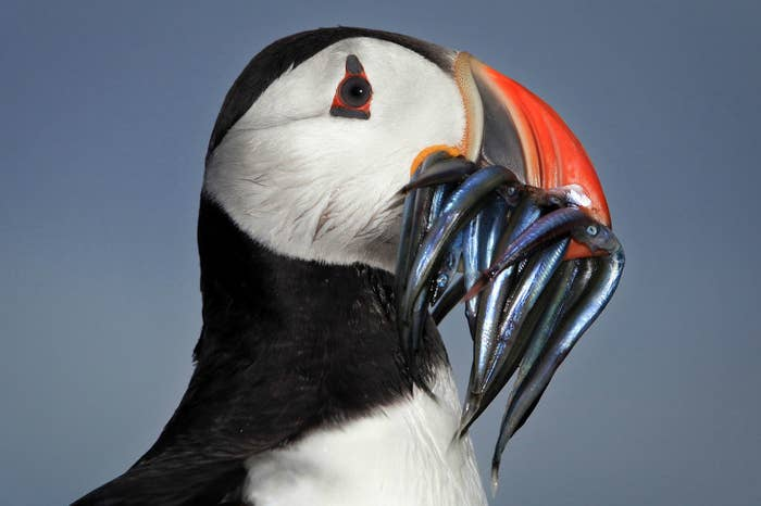 A puffin with a bunch of small fish in its beak