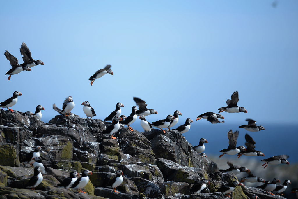 A flock of puffins on rocks