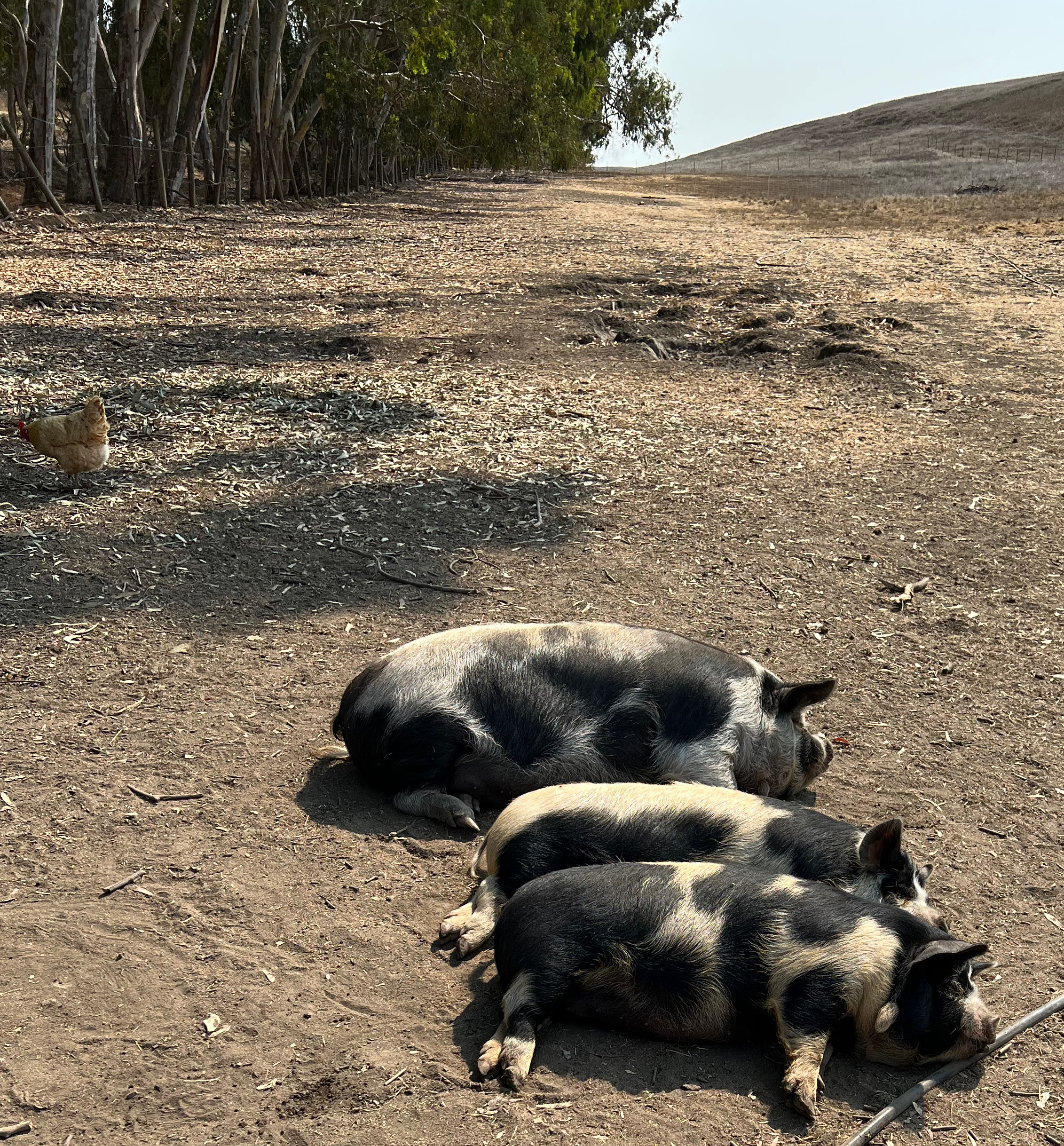 A stack of pigs