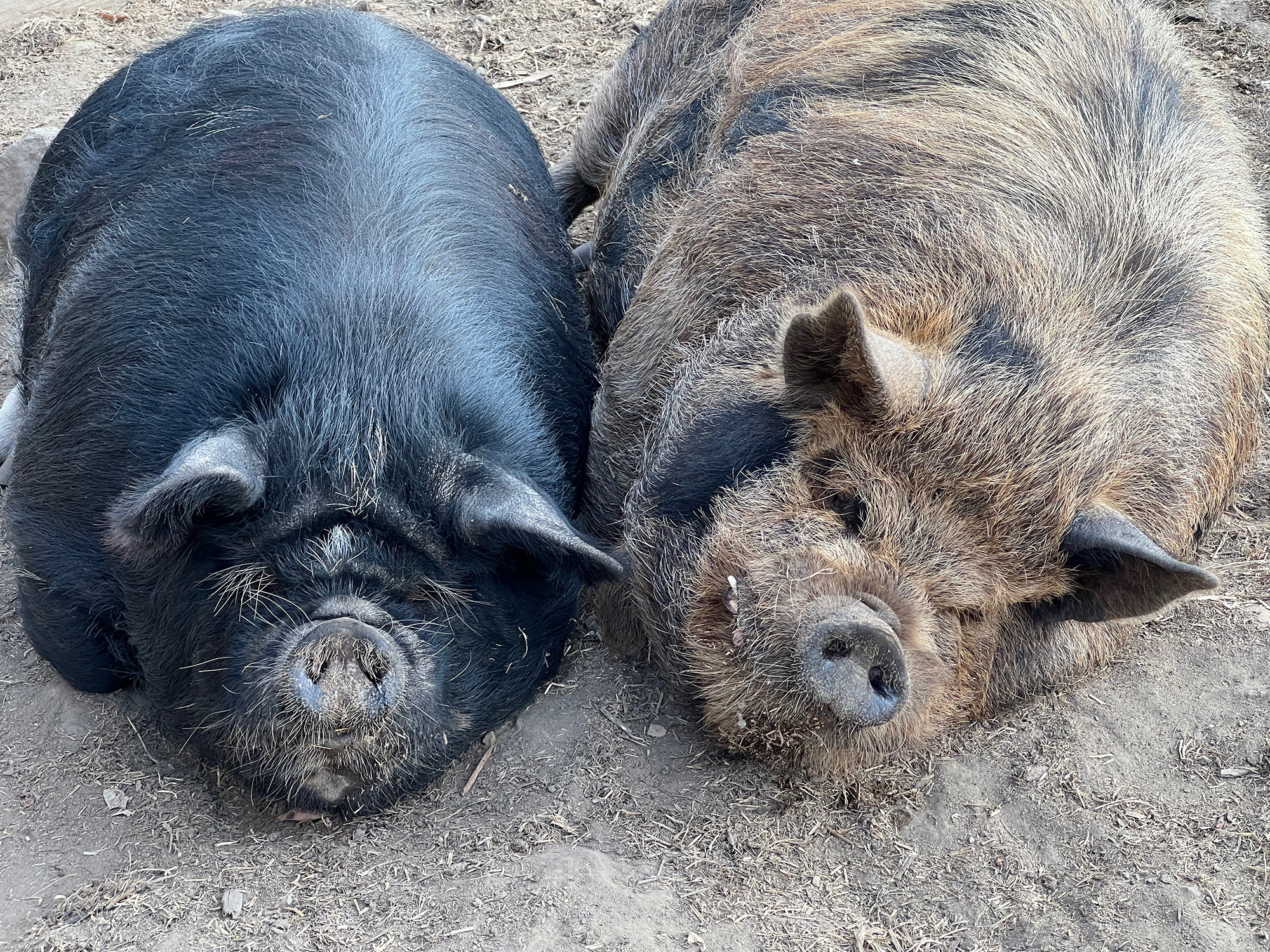 """Two """"absolute unit"""" pigs"""