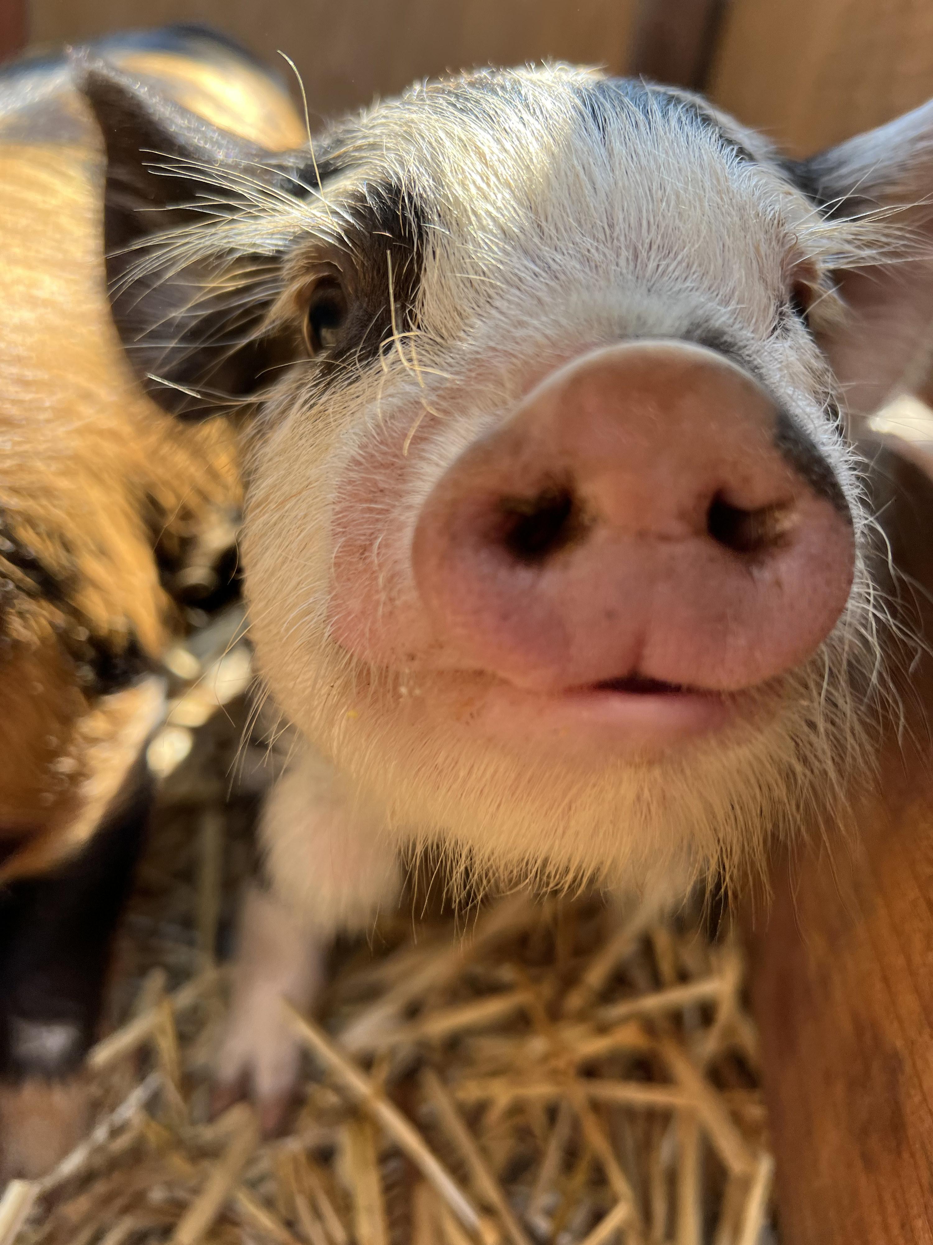 So many pigs