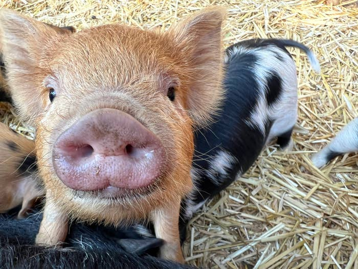 A most excellent pig