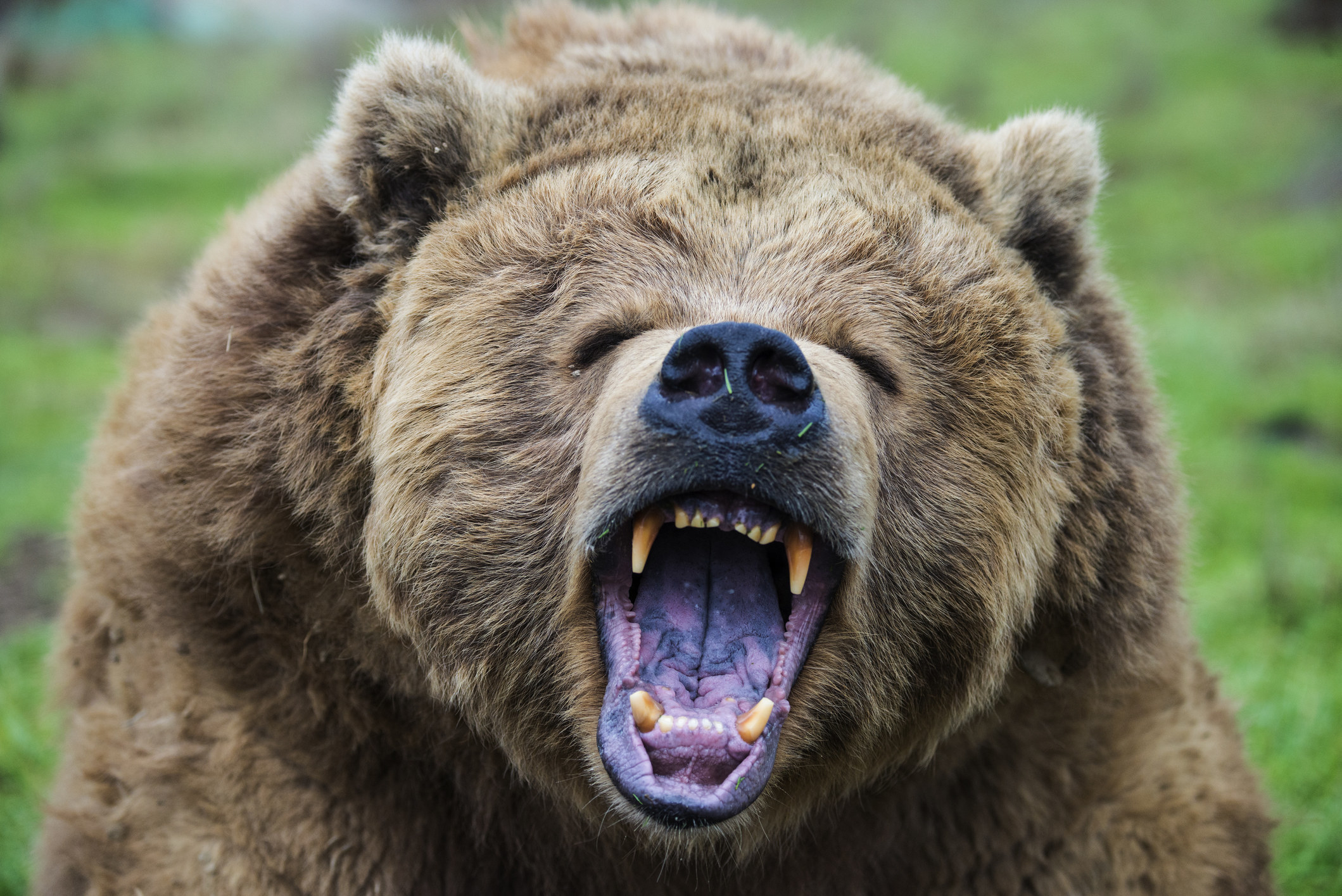 A closeup of a grizzly bear snarling