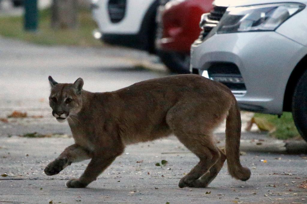 A mountain lion running through a car park