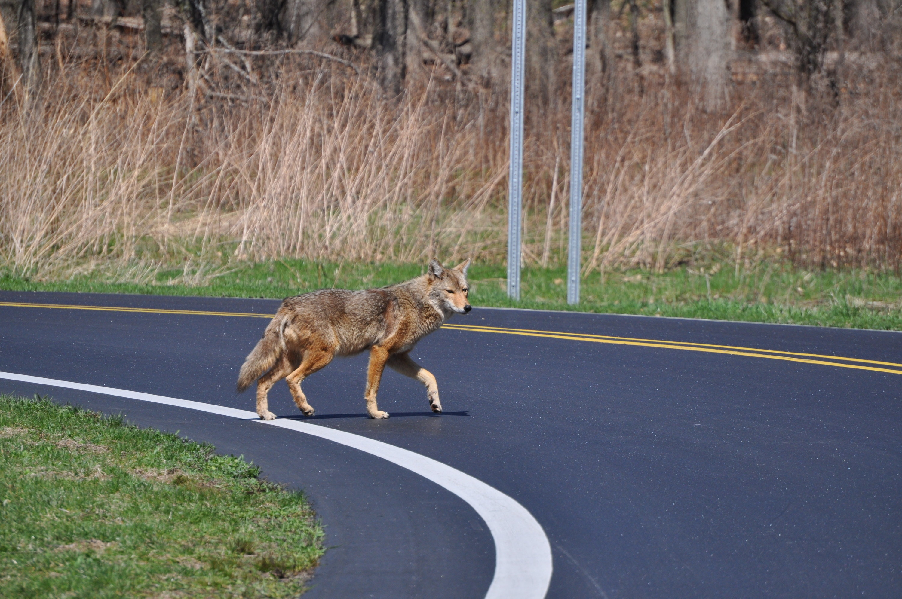 A coyote walking across a deserted road