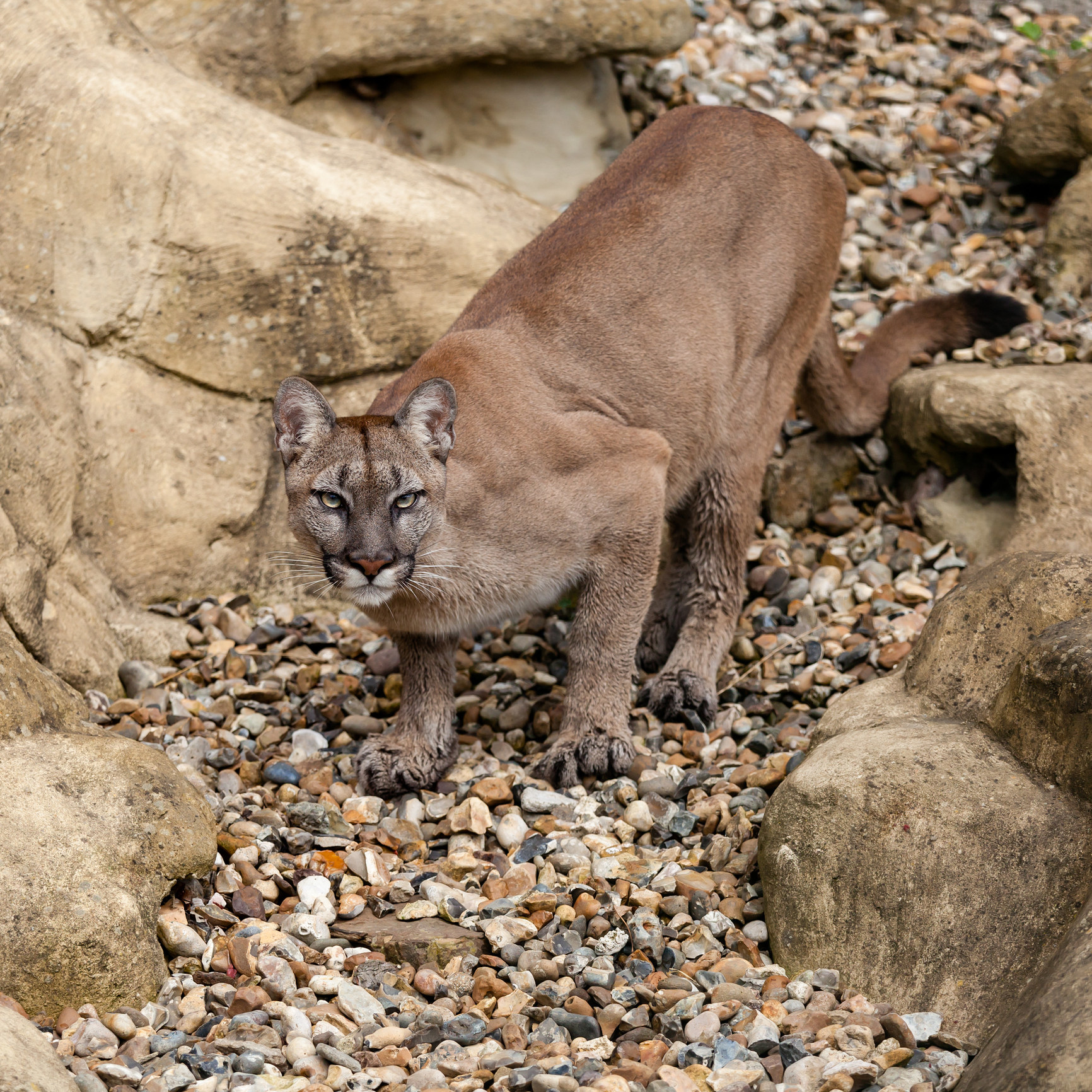 A mountain lion pouncing and ready to attack