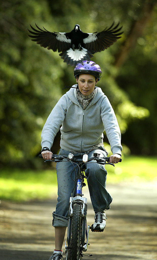 A magpie swooping a lady wearing a helmet while riding a bike
