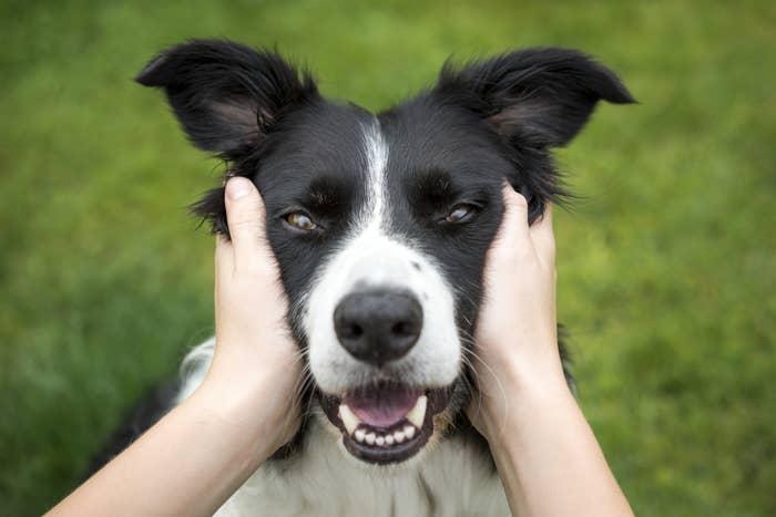 collie dog getting a head rub