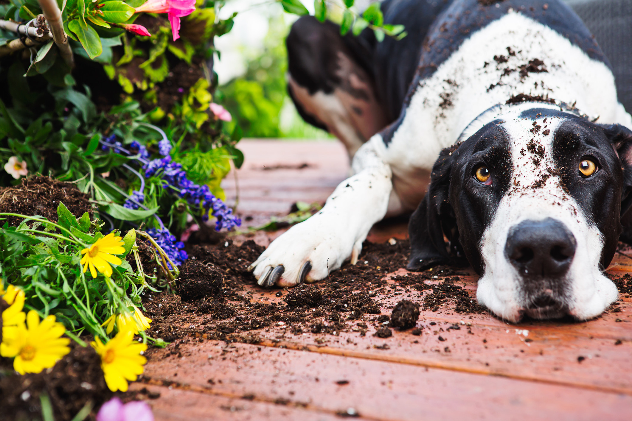 dog in a pile of dirt after digging up some flowers