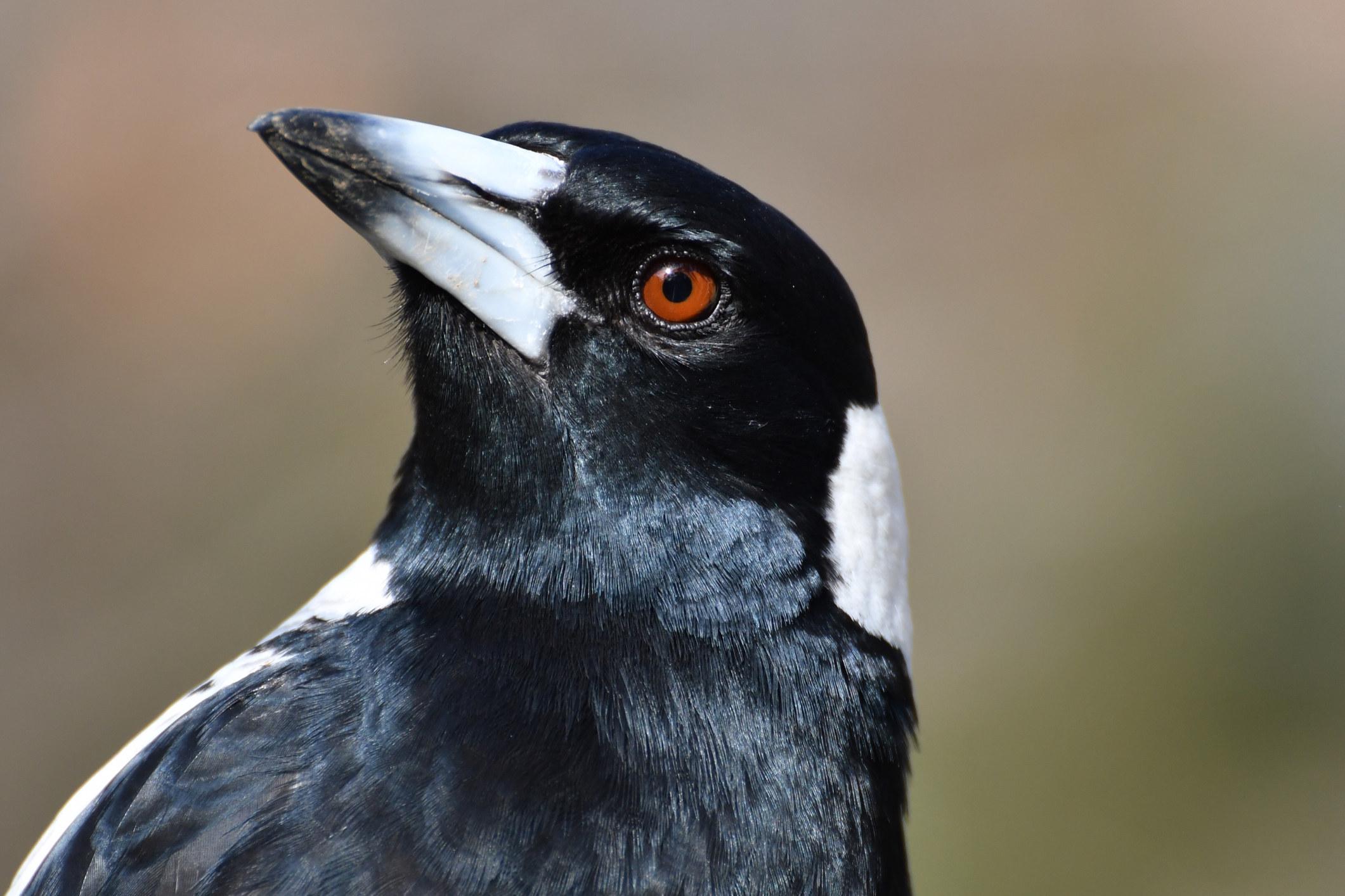 A menacing looking magpie bird