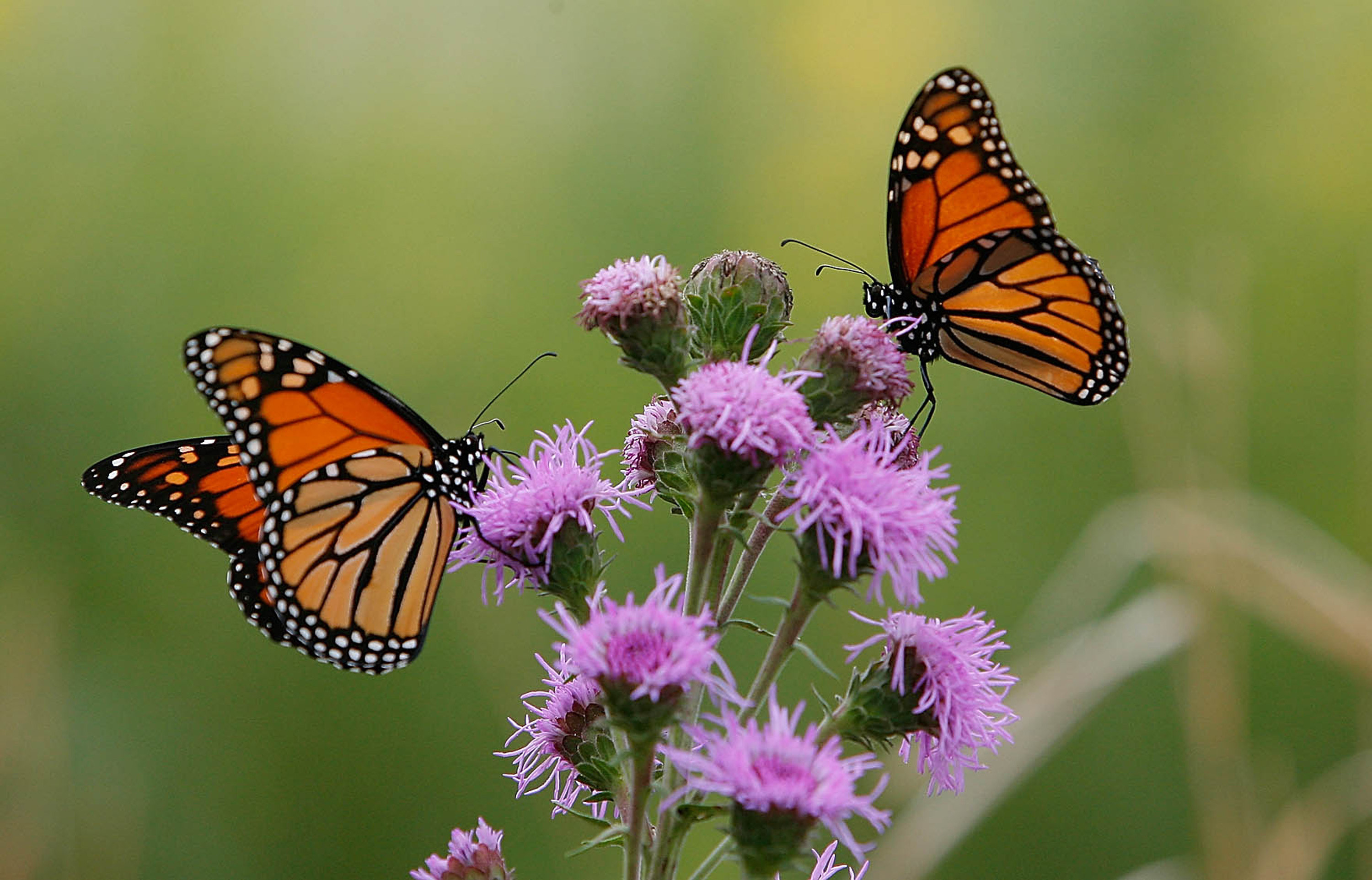 Close up photo of two butterflies on a purple flower