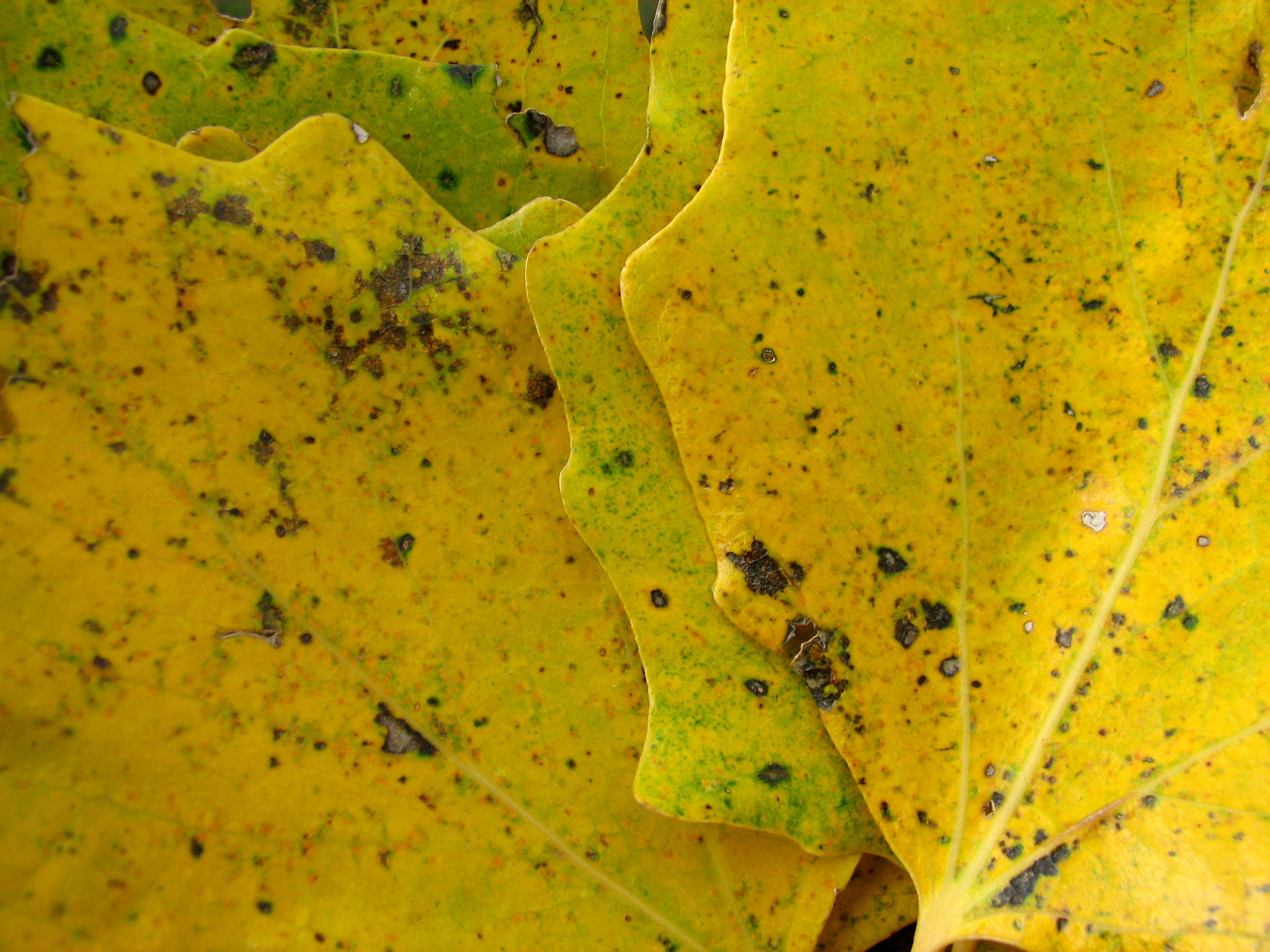 Close up shot of yellow maple leaves
