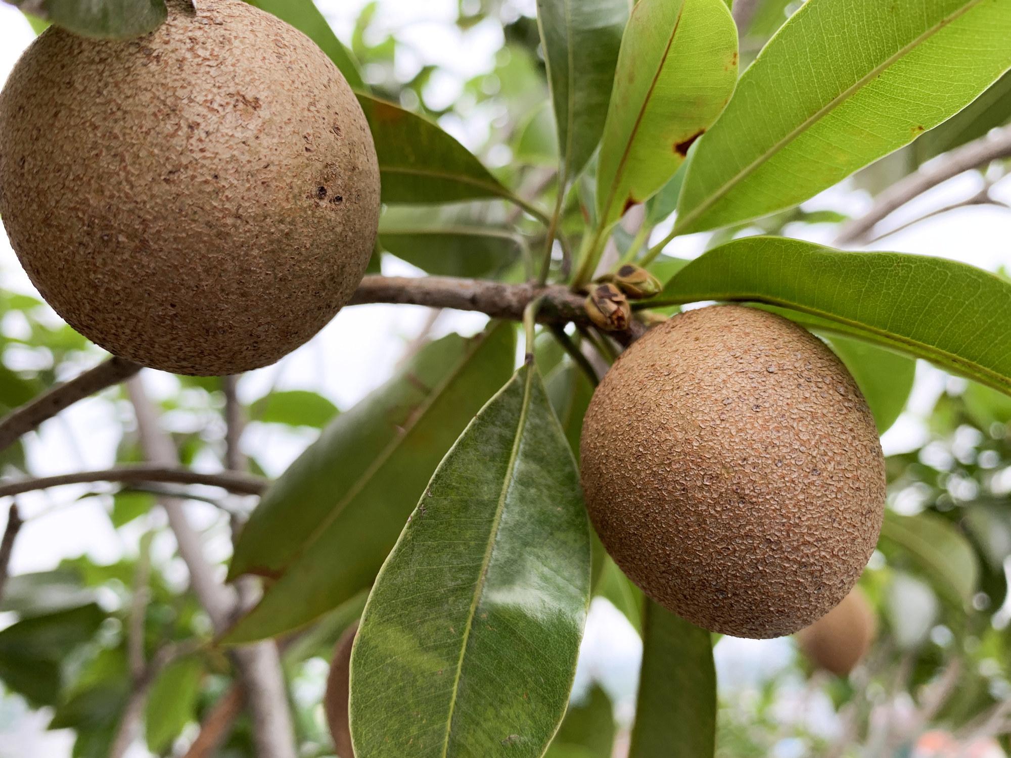 A closeup of the Sapodilla tree