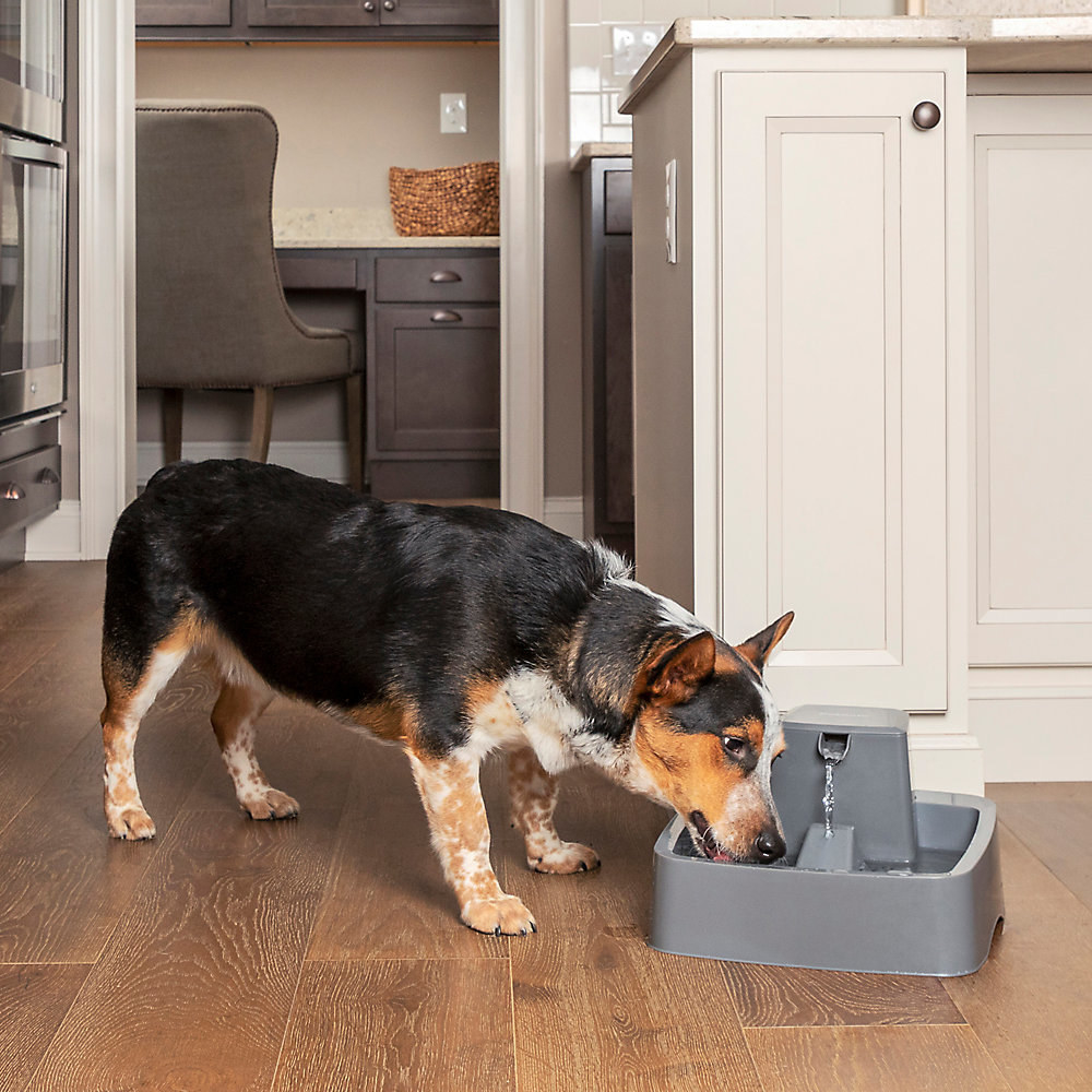 dog drinking out of bowl