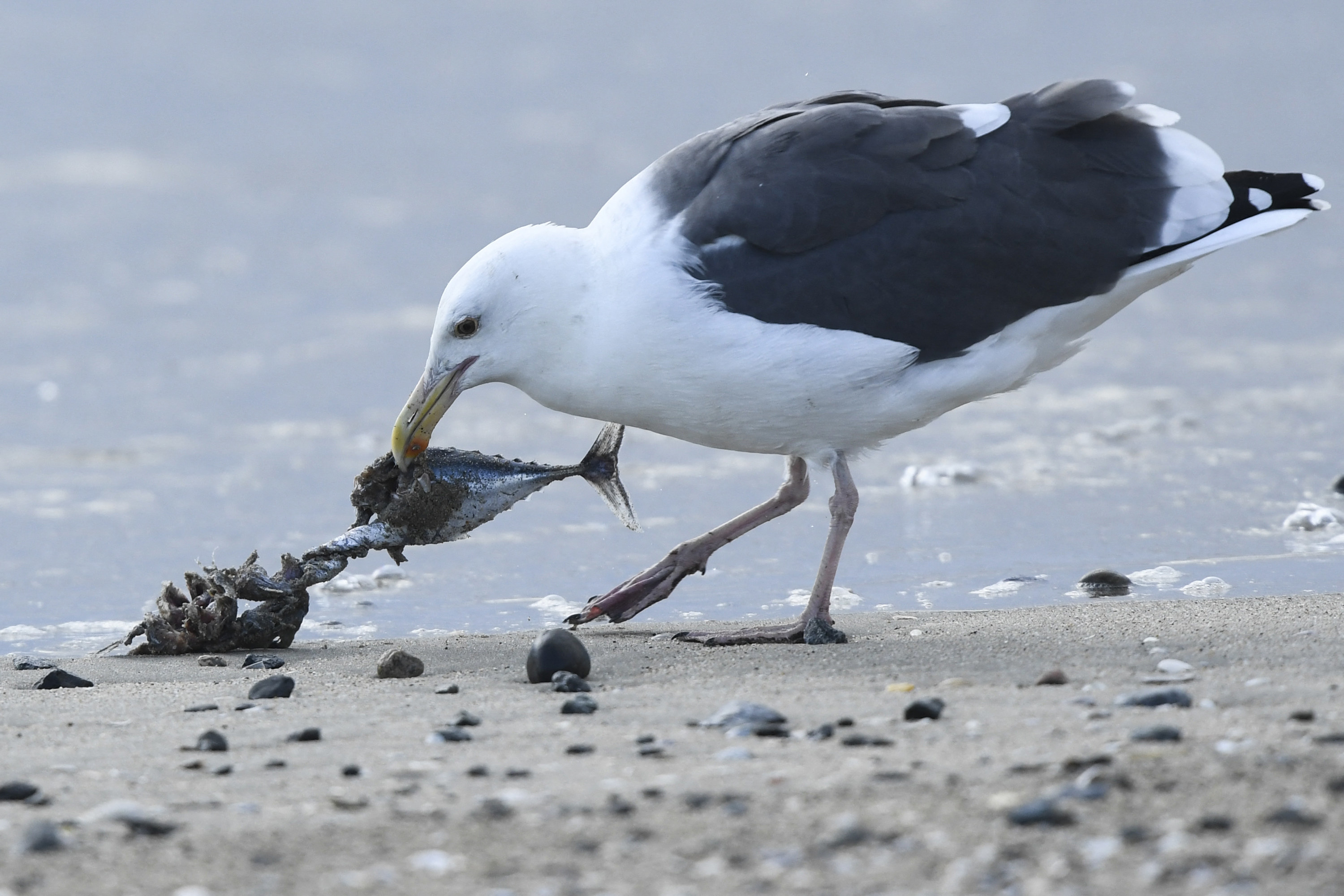 A seagull is seen picking apart a dead fish on the beach