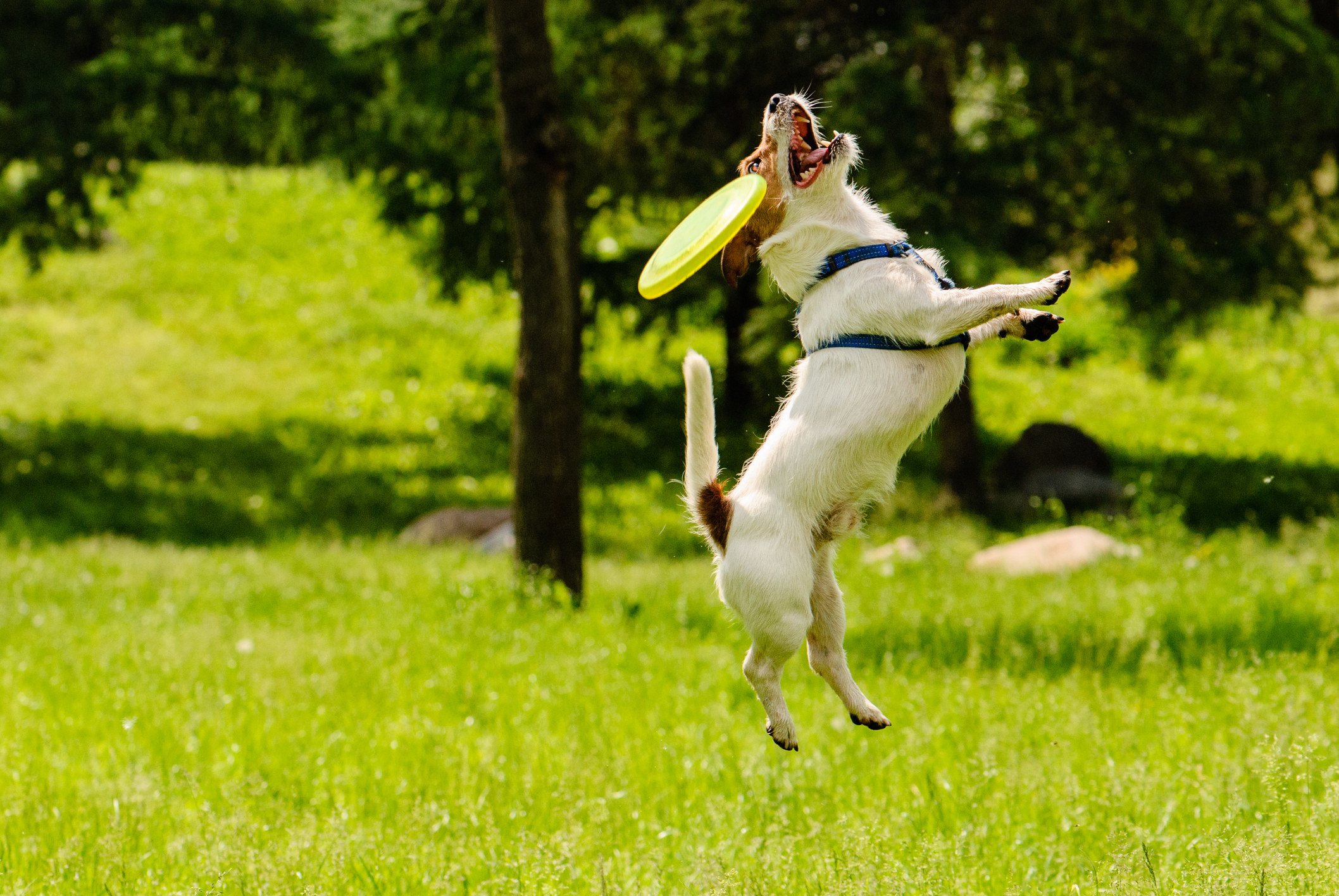 Jack Russell Terrier jumping and missing a frisbee at the park