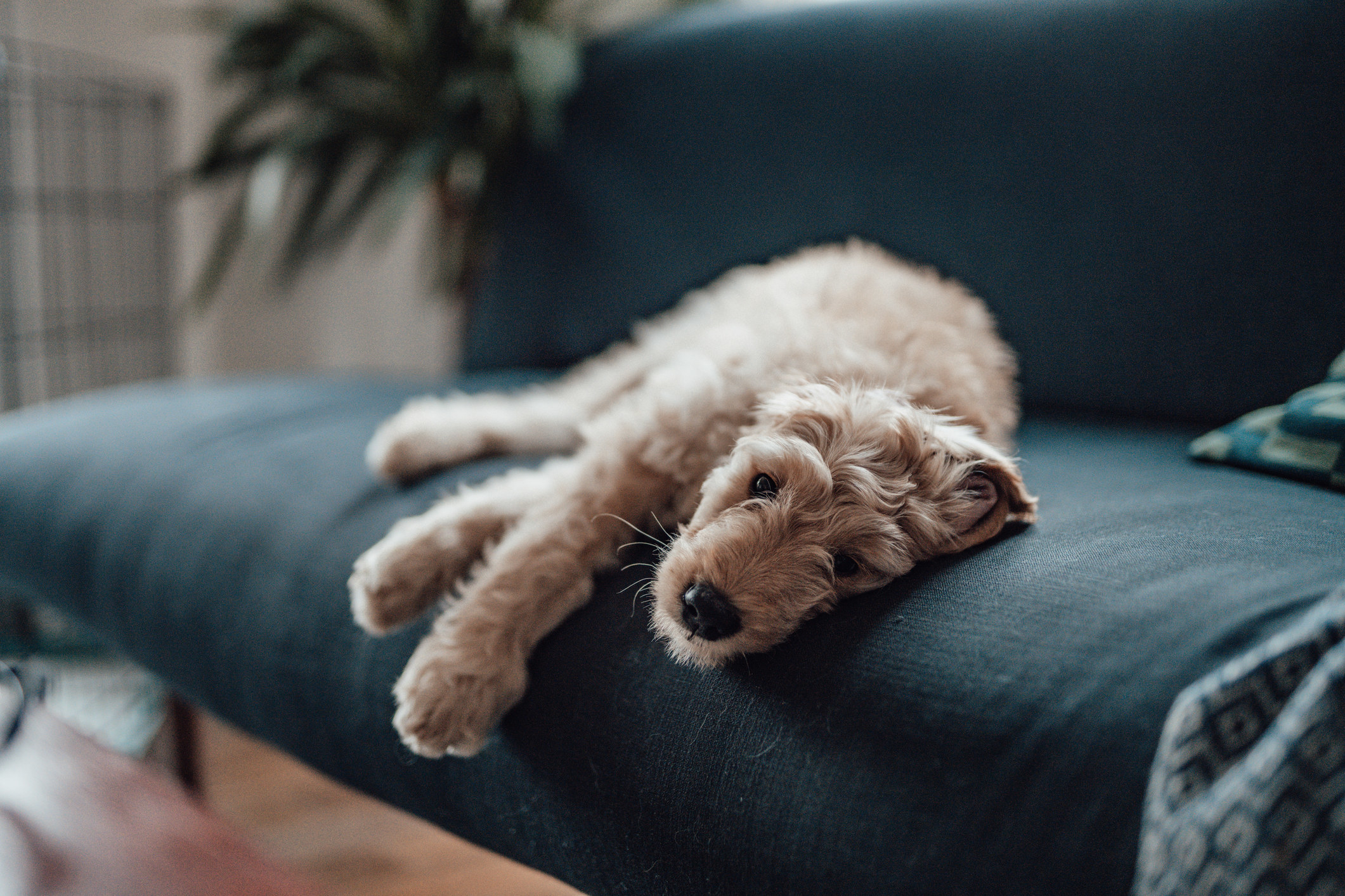 goldendoodle resting on a sofa looking at camera