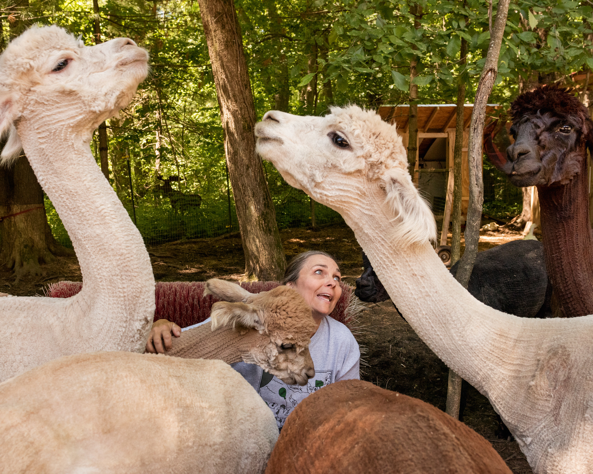 a woman strokes an alpaca as two other alpacas look at each other