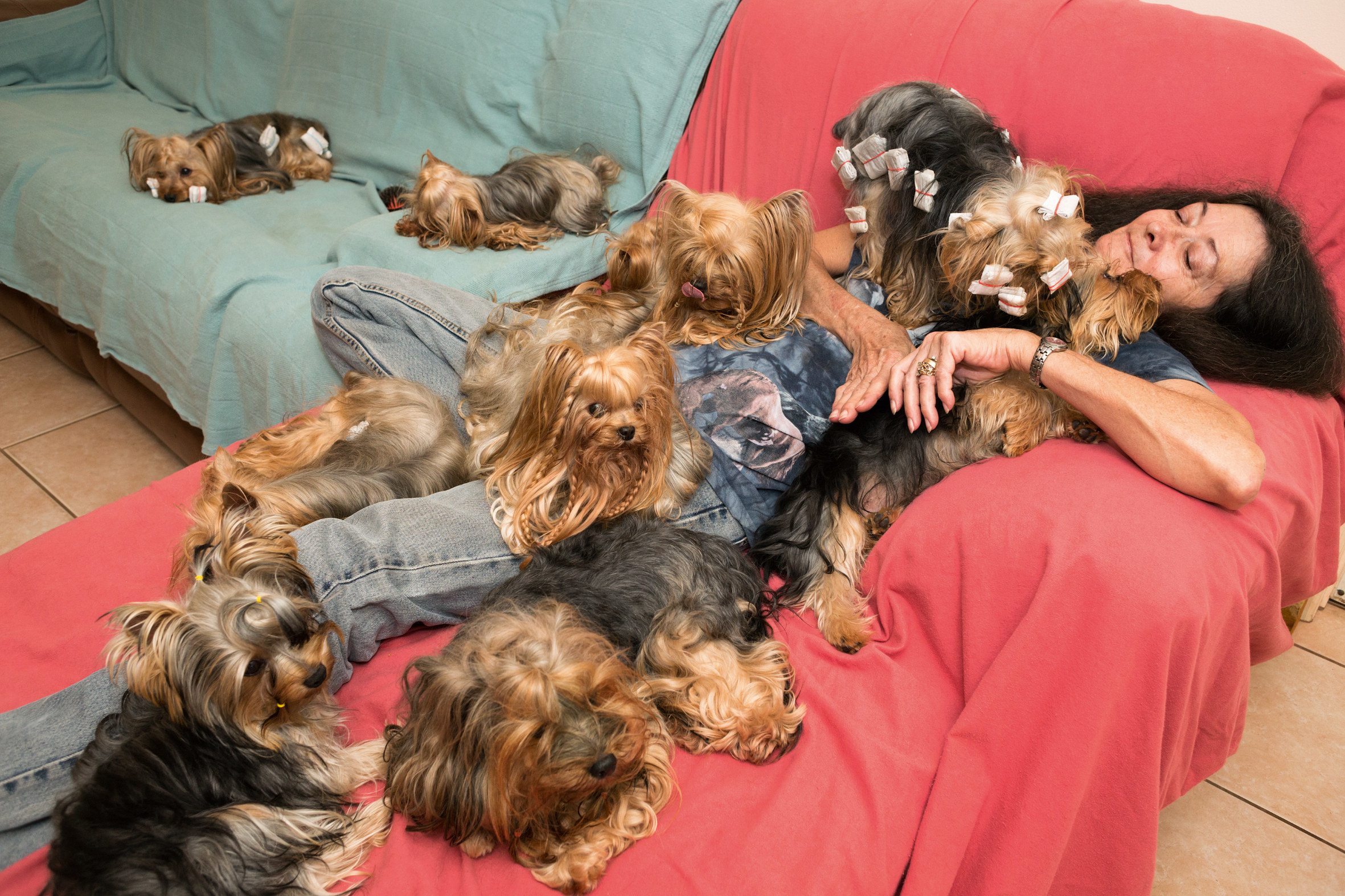 at least 11 Yorkshire terriers cuddle in a heap with a woman on a couch