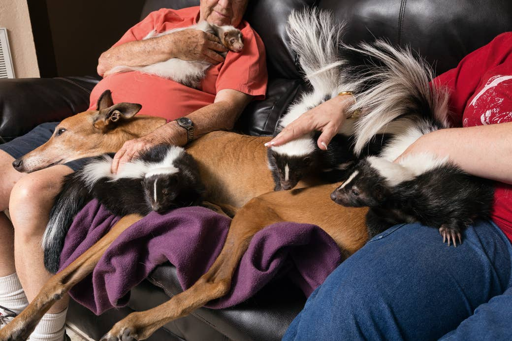 Three skunks, a large dog, and a ferret cuddle with two people on a living room couch