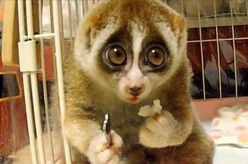 A Slow Loris Eating Rice With A Fork Is The Cutest Thing ...
