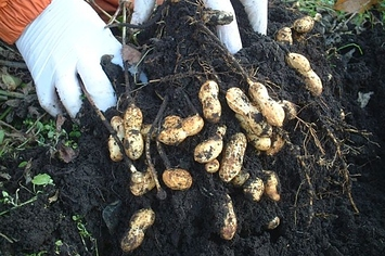 waar komen macadamia noten vandaan