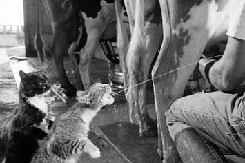 you can milk a cow into a cat