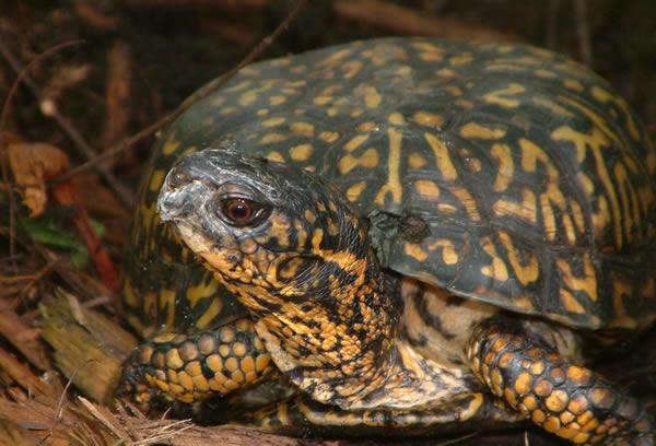American Box Turtle (123 years)