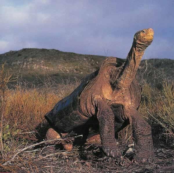 Giant Tortoise (152 years)