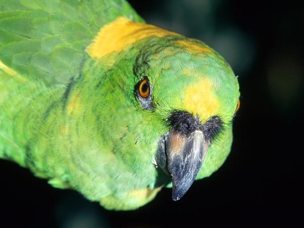 Amazon Parrot (104 years)
