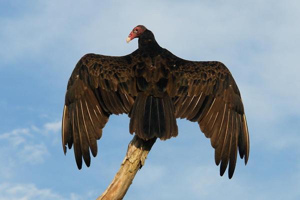 Turkey Buzzard (115 years)