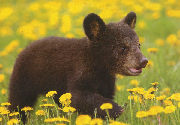 Alright, well this is really cute. Just a bear walking through a meadow.