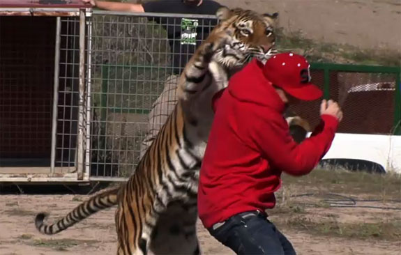 Letting A 400 Pound Tiger Chase Him