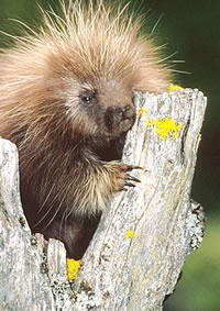 In Florida, having sexual relations with a porcupine is illegal.