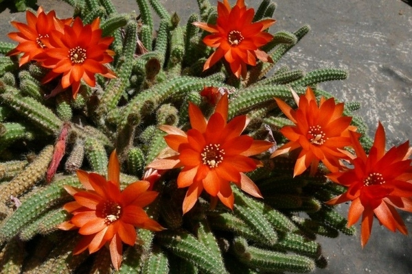 Echinopsis (Hedgehog Cacti, Sea-Urchin Cactus or Easter Lily Cactus)