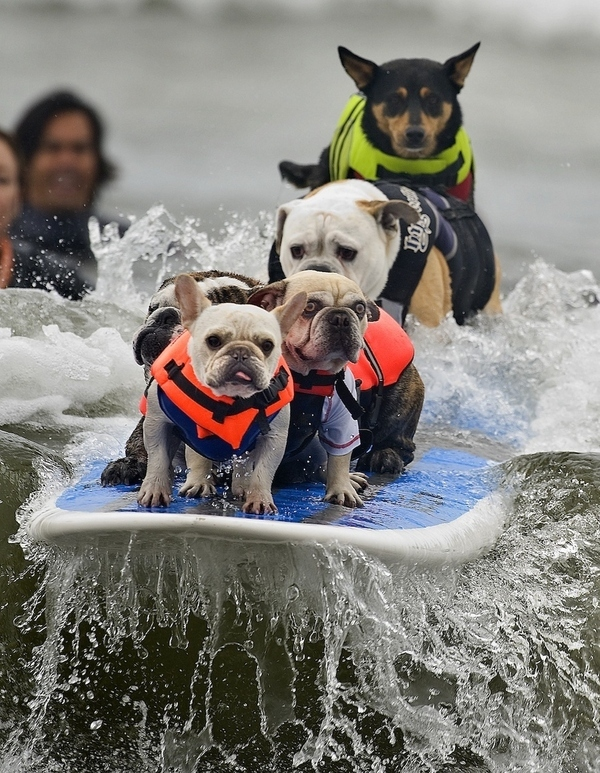 These dogs surfing