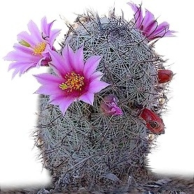 Mammilaria Grahamii (Fishhook Pincushion Cactus)