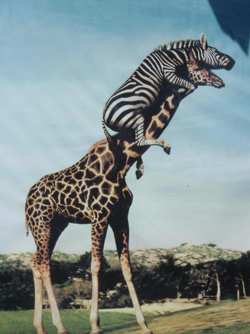 This zebra riding a giraffe