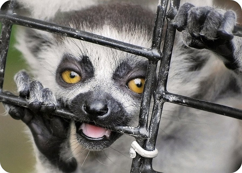 Lemurs are wild animals. Not pets.