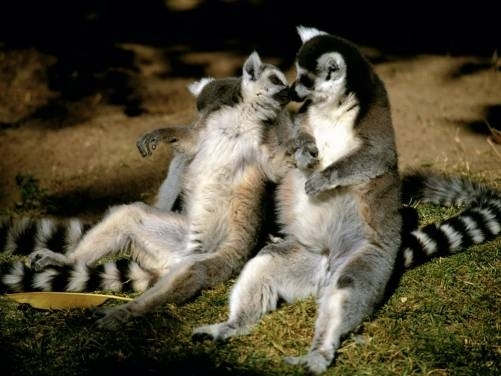 Teen lemur saying goodbye as he leaves for college. Mom lemur tries not to cry.