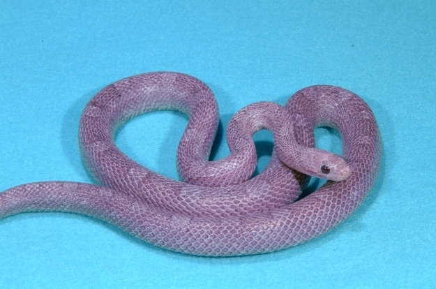 Fluorescent Orange Corn Snake Eight More Oddly Color...