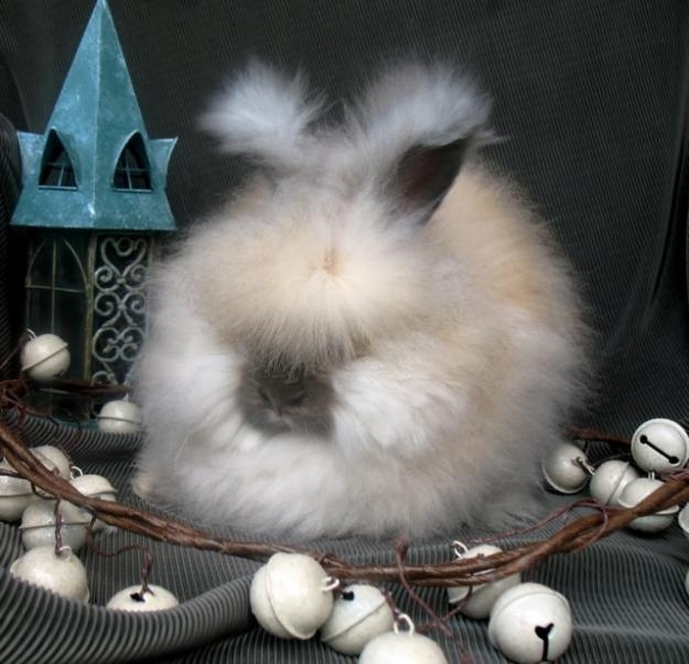 Holiday Angora
