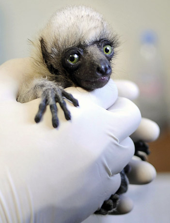 This lemur kind of looks like Dr. Zaius.