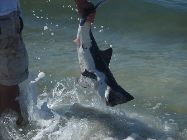 Giant Captures Great White