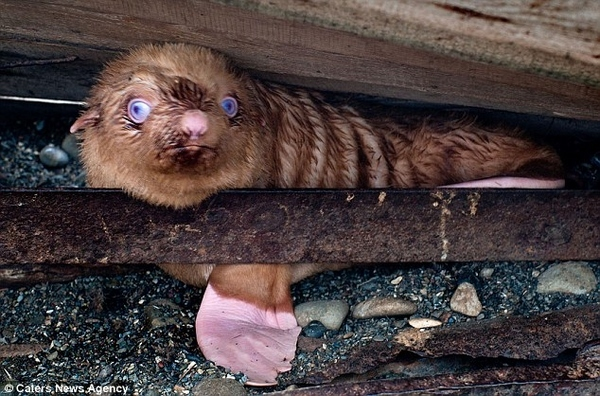 The nearly blind seal pup was found hiding under a pile of logs.