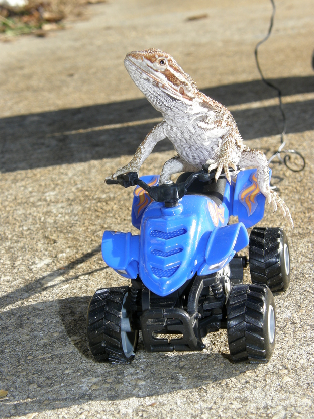 3. Theyu0027re totally game to go 4-wheeling on the weekends. & 21 Reasons You Need To Start Hanging Out With Bearded Dragons